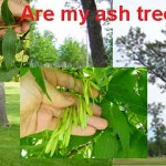Ash trees in danger